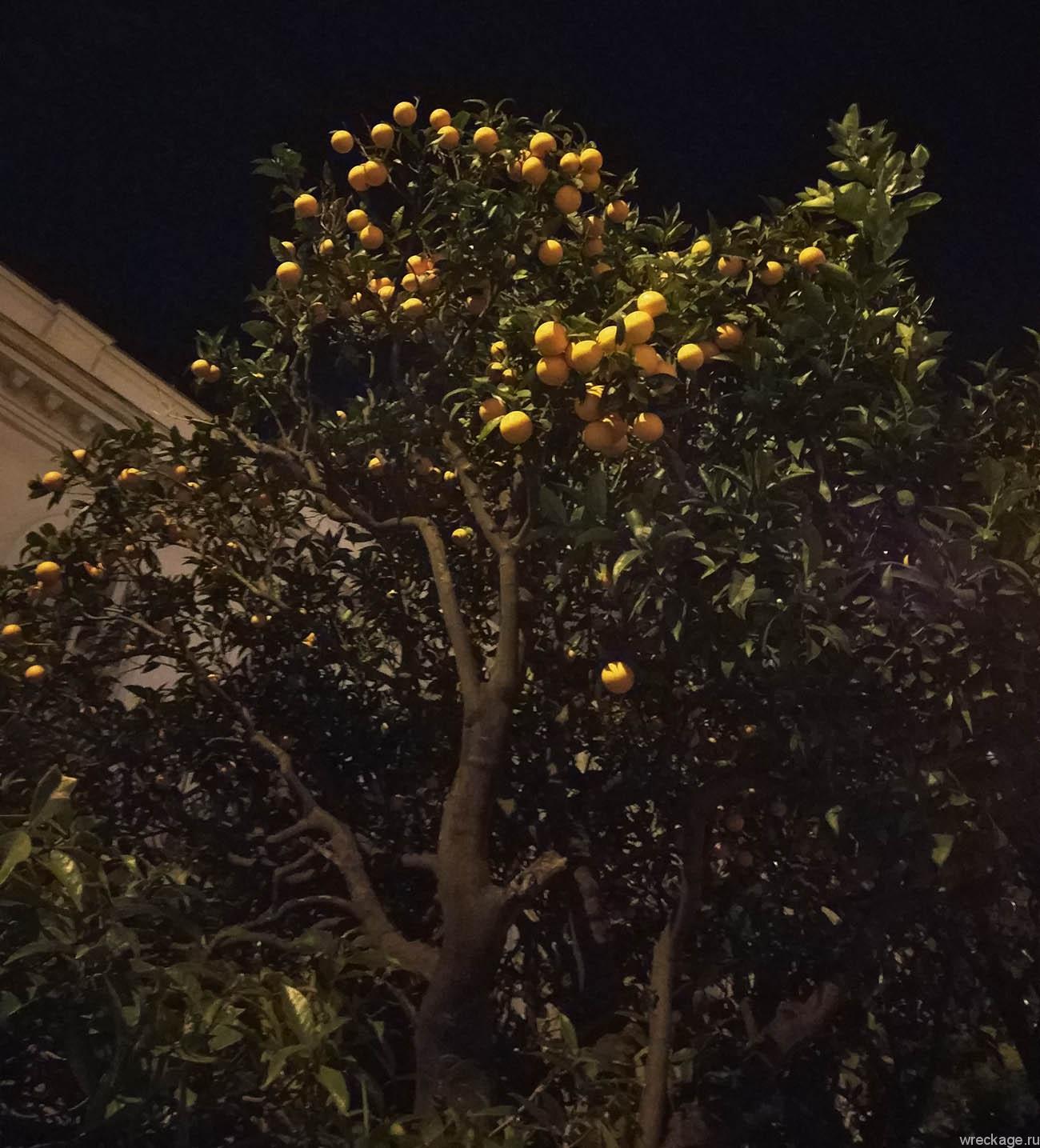 мандарины в ницце на деревьях