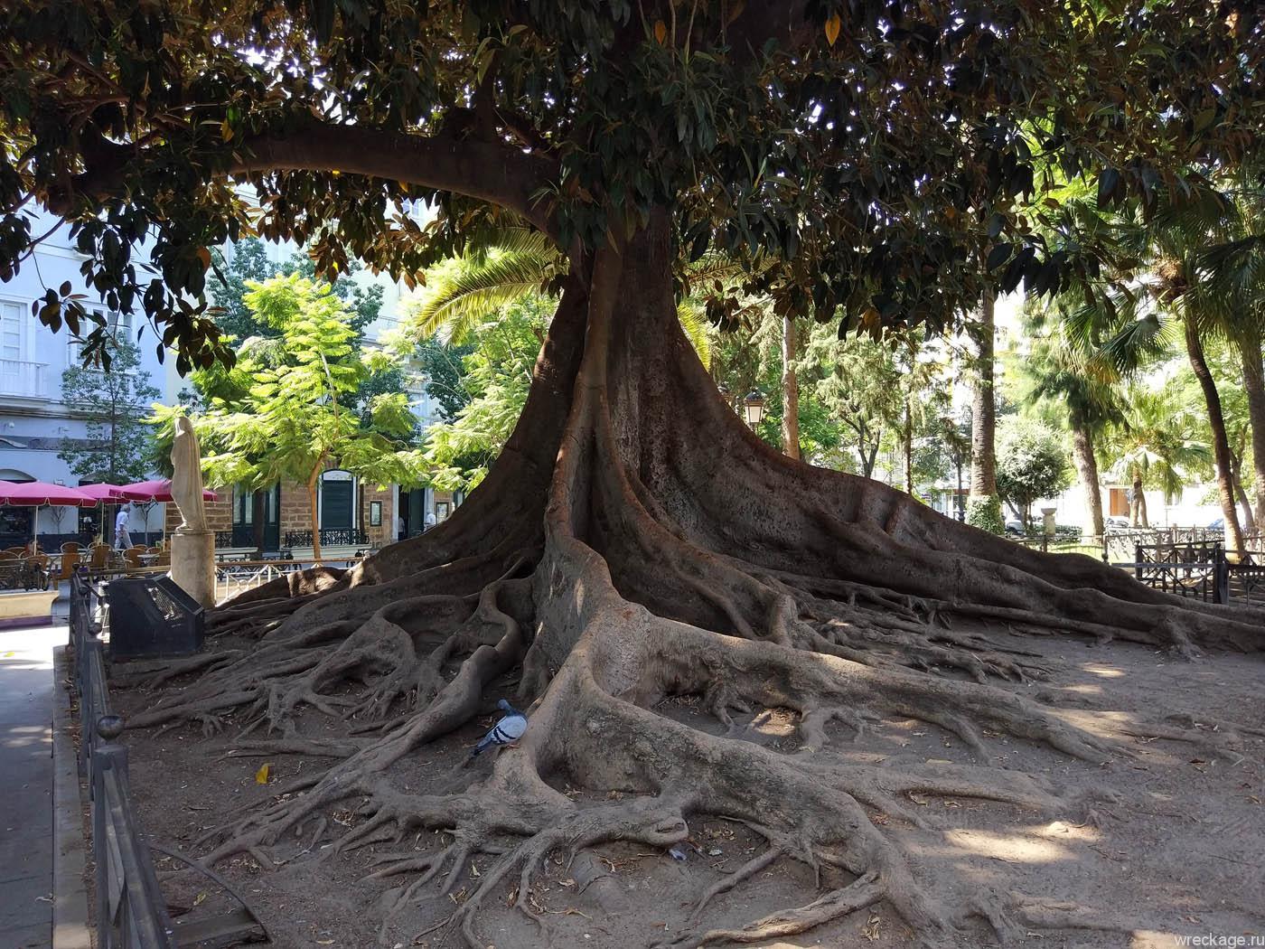 кадис дерево на главной площади