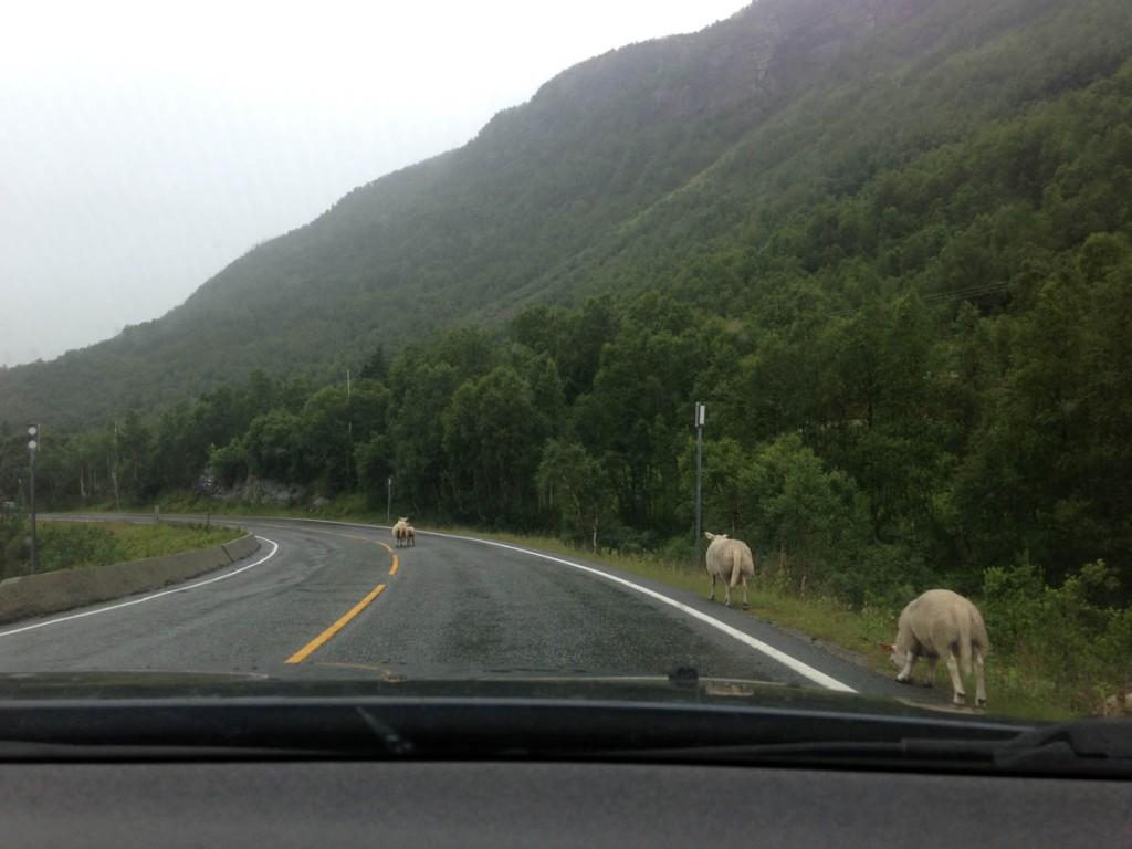 овцы на дорогах норвегии