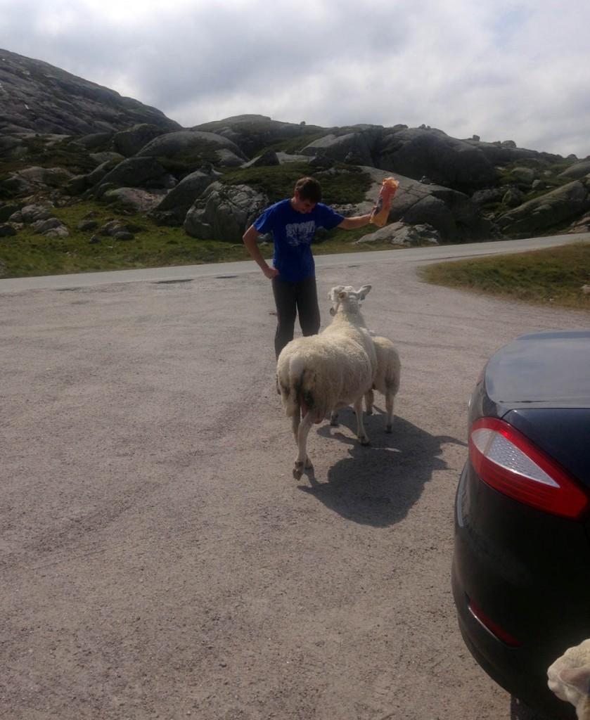 Норвегия овечки