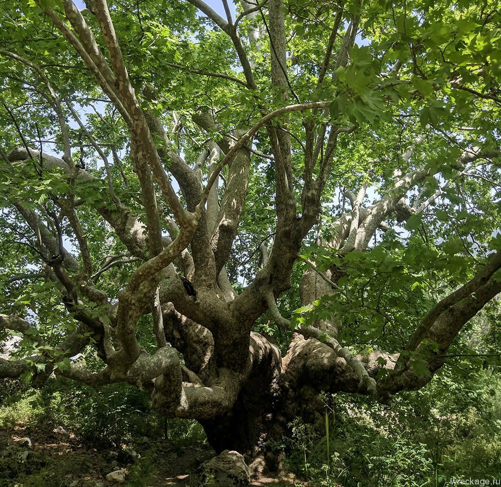 огромное дерево платан