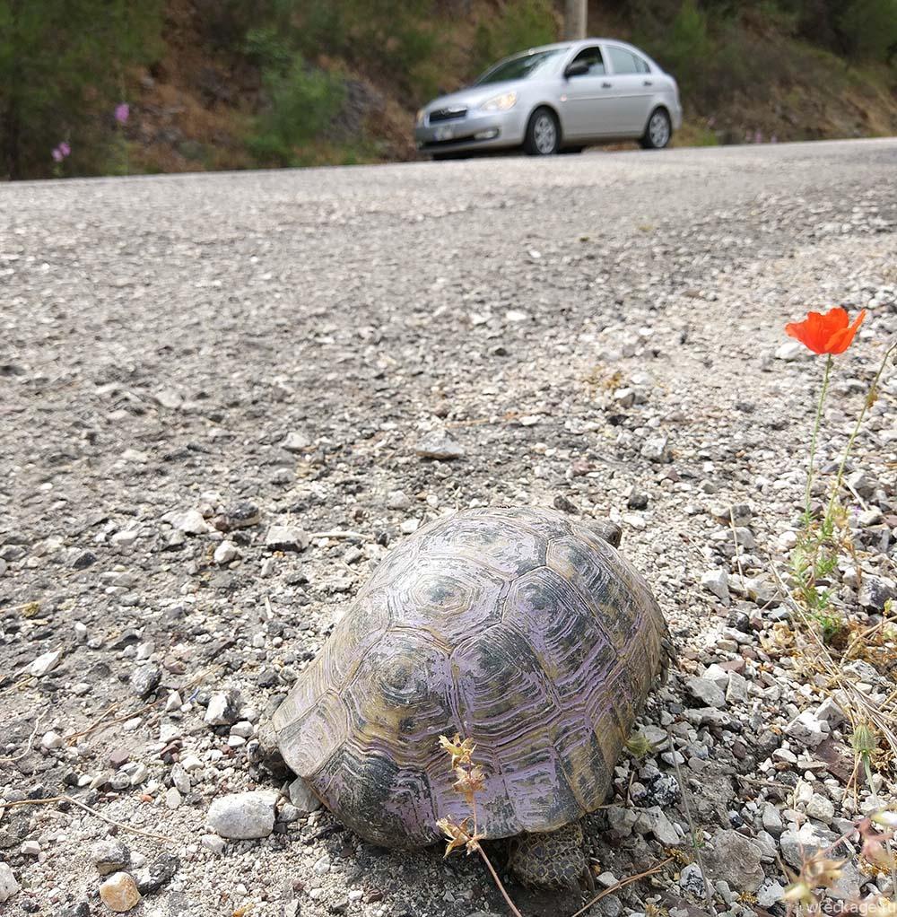 черепаха переходит дорогу в турции